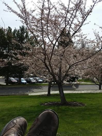 WSU Arboretum Cherry Blossoms