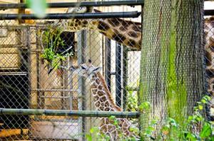 Giraffe-eats-400