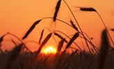 barley-160