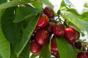 WSU Cherries