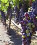 vineyard-care