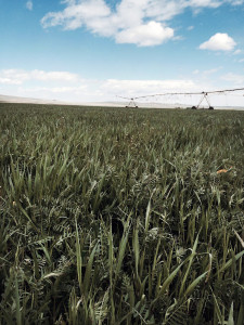 Cover crop-web