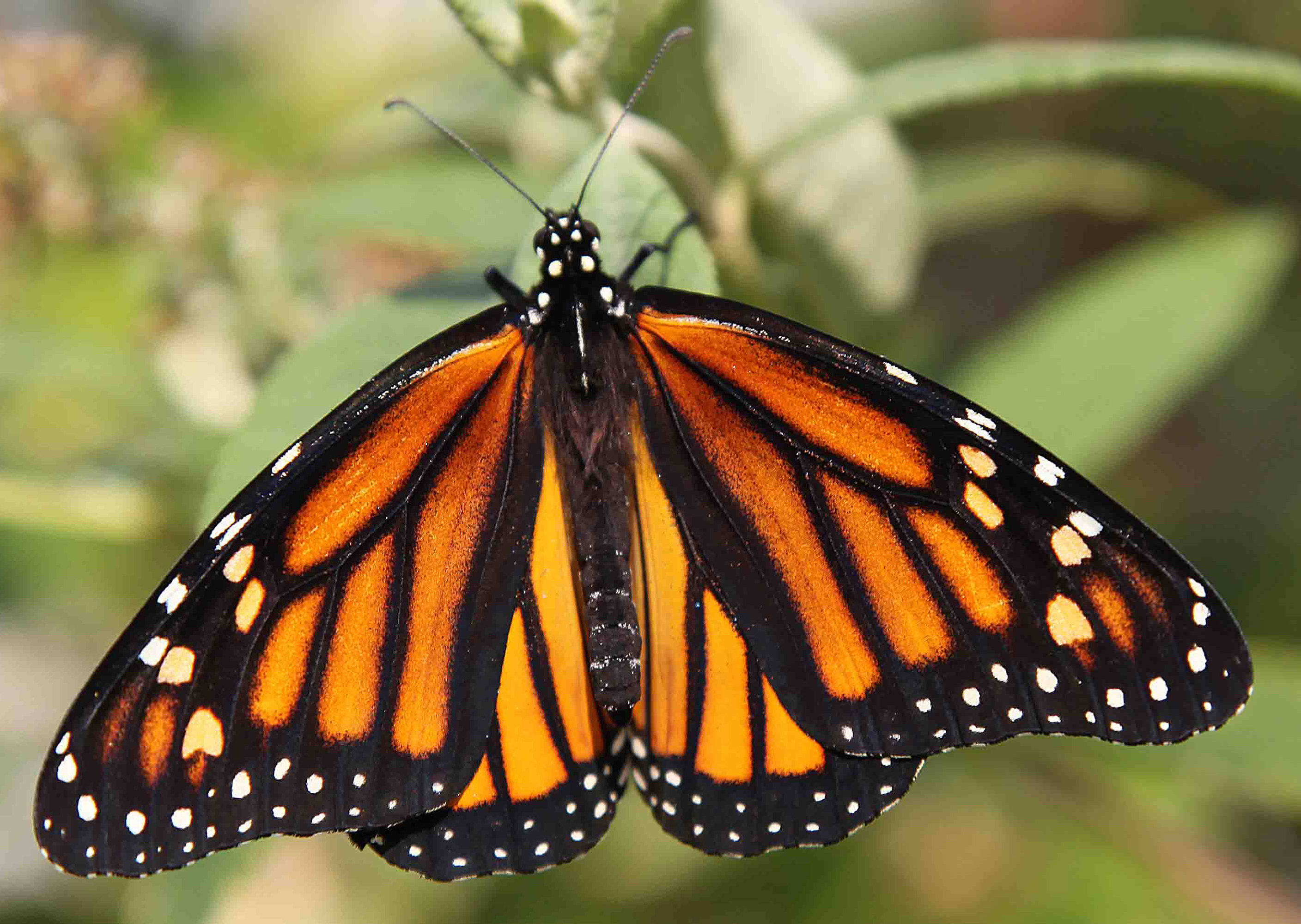 Vineyard Natural Habitats Assist With Butterfly Comeback on Number Study Nine