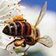 Bee-apple-tree-80
