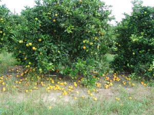 Citrus-drop-web