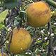 Citrus-greening-detail