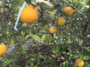 Citrus-greening-web