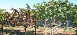 Grapevine-leafroll-disease-in-cabernet-sauvignon-vines-web
