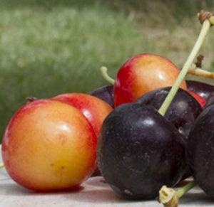 cherries-small-web