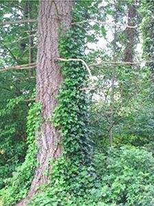 tree-ivy