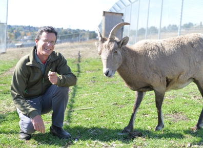 WSU's Dr. Tom Besser with a bighorn sheep at WSU Pullman.